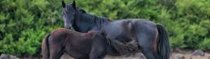 cropped-cavallina-della-giara-con-puledro-ritagliata.png