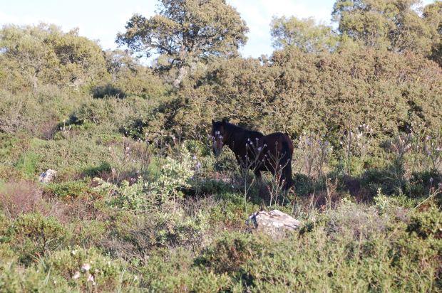 Giara, Cavallino nella vegetazione