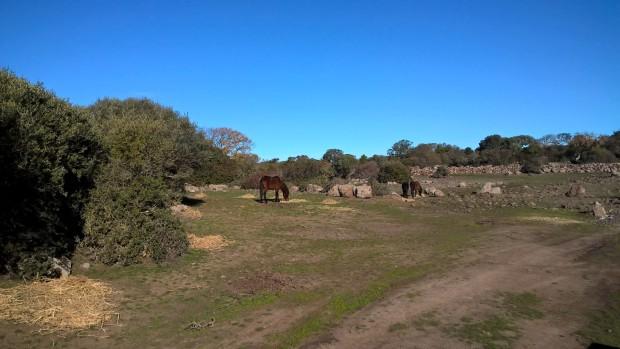 Giara, Cavallini al pascolo con foraggio distribuito per emergenza siccità